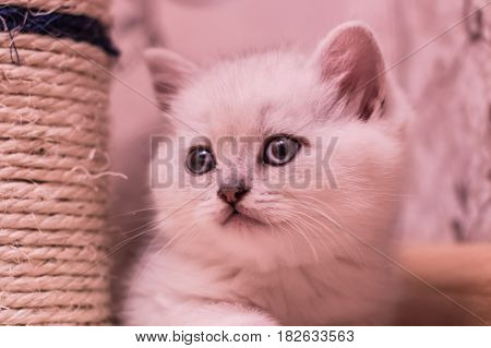 White British Kitten Lies On Cat Scratch Post
