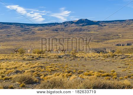 Vicuna At Patagonia Landscape, Argentina