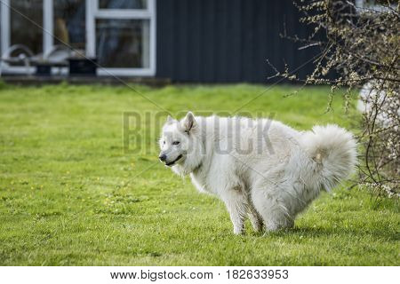 Samoyed Dog Taking A Dump
