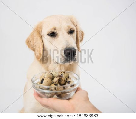 A plate with quail eggs in the hands of a man as a food for a dog golden retriever on white background. Studio shoot