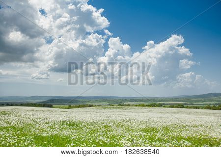 Field of white camomiles on blue sky background