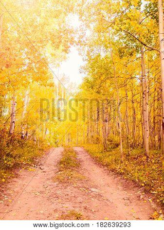 Aspen Trunks In Fall