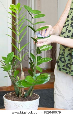 Elderly female hands taking care of plant in flowerpot at her home, wiping the dust from flower's leaves