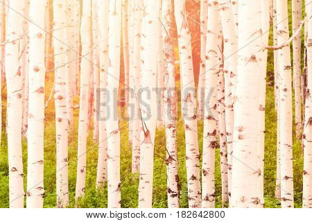 Aspen forest near Crested Butte Colorado .