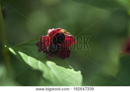Deep purple peony seeds are surrounded by vibrant reds and green in late summer.