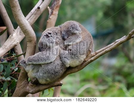 Koala and baby Koala relaxing in a tree