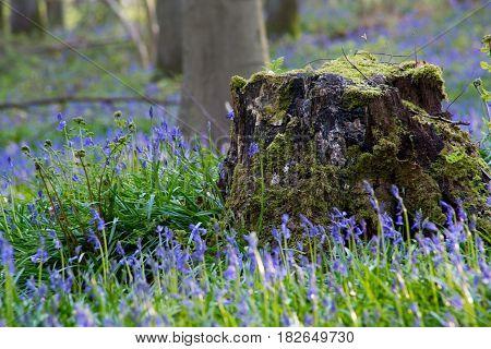 Bluebells Flowers Hallerbos
