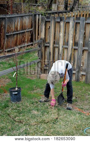 Female gardener planting a new tree in the backyard.