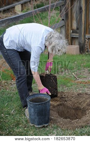 Mature female gardener planting a new tree in the backyard outside.