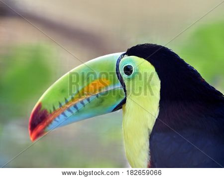 The keel-billed toucan, also known as sulfur-breasted or rainbow-billed toucan