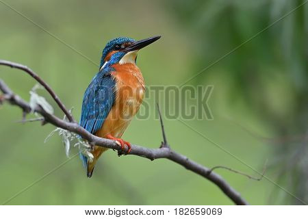 kingfisher (alcedo atthis) in natural habitat