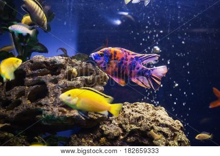 Colored fish swimming in an aquarium. Sea creatures. Abstract aquarium background. Colorful aquarium