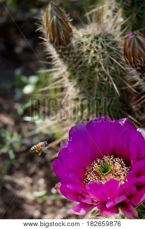 A Hedgehog Cactus in bloom with a bumble bee fling over it.