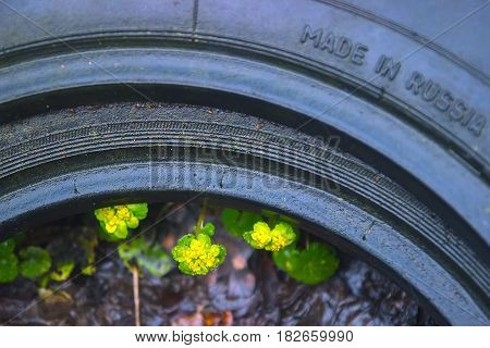 Yellow Opposite Leaved Golden Saxifrage - Chrysosplenium oppositifolium background texture inside the tire