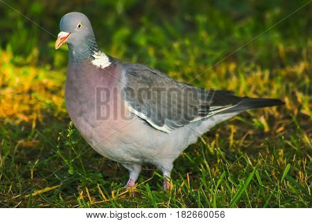 wood pigeon in spring grass, wild birds in spring