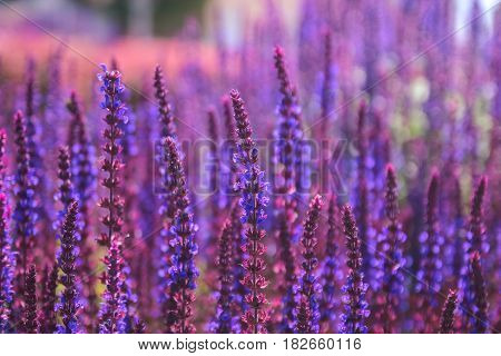 Sunset over a violet lavender field in the evening