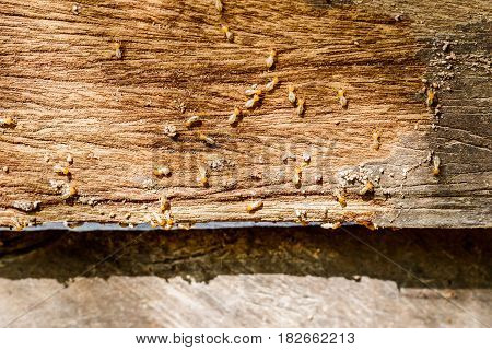 selective focus on the group of termites on the wood floor