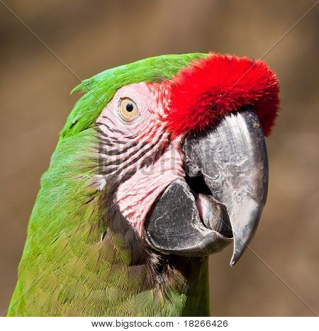 Green Parrot with red feathers on beak talking in the sunshine poster