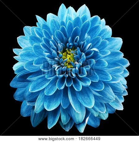 Blue flower chrysanthemum on black isolated background with clipping path. Closeup. no shadows. Nature.