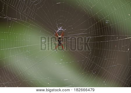 Spiny Bodied Spider in Its Web in Tortuguero National Park in Costa Rica