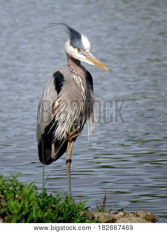 Portrait of a Great Blue Heron (Ardea herodias) standing with one foot in the air in front of a blue lake.