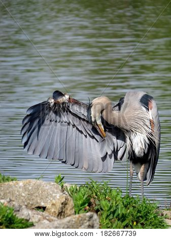 Portrait of a Great Blue Heron (Ardea herodias) standing with one wing outstretched and head bowed in front of a lake.