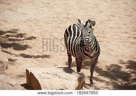 Zebra in a zoo. Animal photographed in captivity. Valencia, Spain.