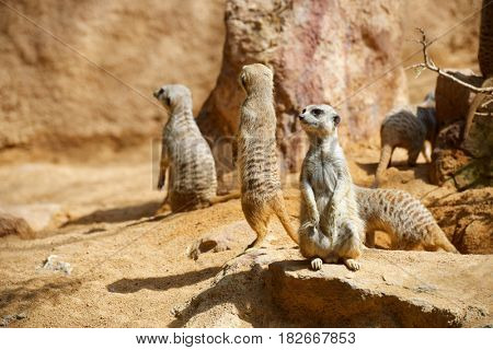 Meerkat in a zoo. Animal photographed in captivity. Valencia, Spain.