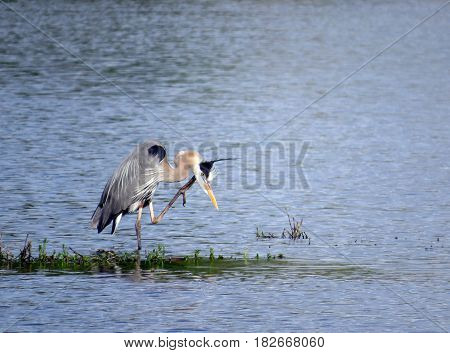 A Great Blue Heron (Ardea herodias) on a grassy patch in blue lake water scratching its chin.