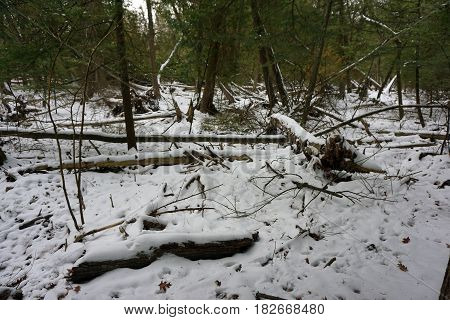 Fresh snow on fallen logs on the forest floor in the Richard H. and Lydia Naas Raunecker Preserve in Harbor Springs, Michigan during November.
