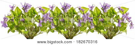 Several bouquets of field violets in a row.Violets isolated on a white background.