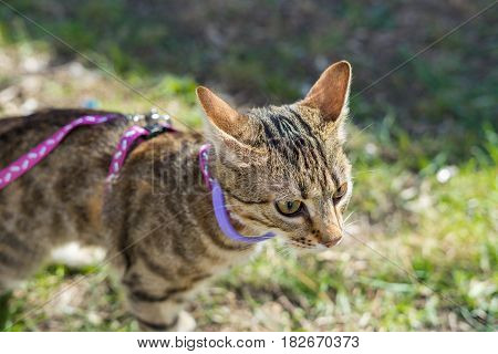 First going out. Kitten on a leash outdoor. Cat hunting in natural surroundings