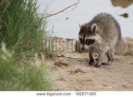 Racoon walking on shoreline towards grass outcropping
