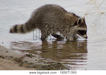 Racoon foraging for food in water near shore