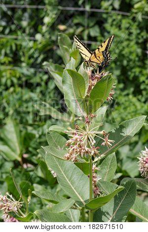 A swallowtail butterfly on a swamp milkweed flower in the garden