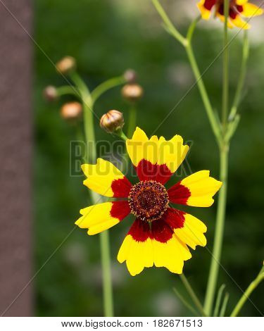 A yellow and maroon Coreopsis Tinctoria flower basking in the sun gloriously.