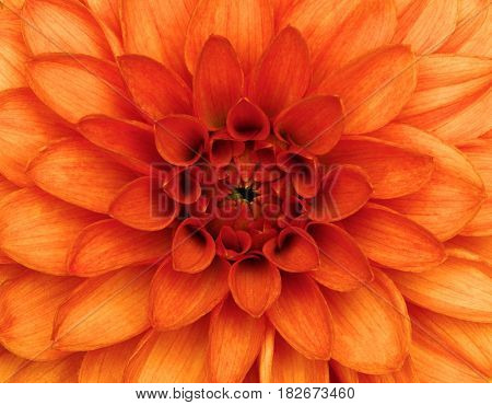Orange dahlia petals macro, floral abstract background.