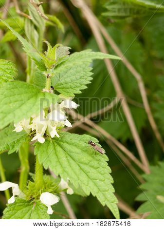 A Fly Resting Upon The Flower Of A Dead Nettle Plant Leaf Green Waiting In The Sun Light And Heat Of