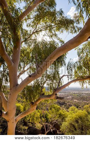 View from the canopy of an Australian native Eucalyptus / gum tree in the Queensland outback