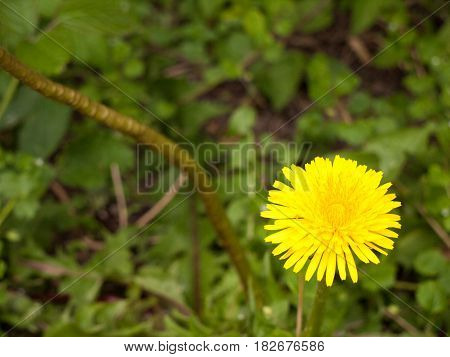 A Macro Isolated Shot Of A Yellow Dandelion Flower Head In The Bottom Right Corner Or Third Of The P