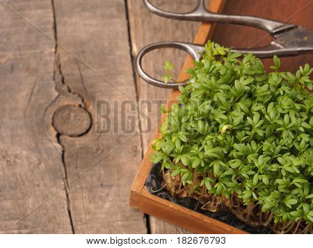 Organic cress in a wooden box on an old rustic wooden garden table