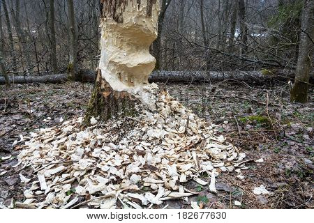 Big tree with signs of beaver activity captured in close-up.