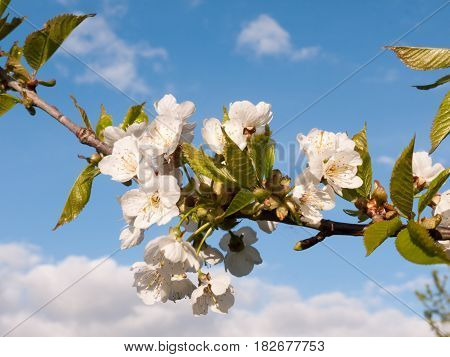 A Macro Shot During The Day Of Oak Apple Blossom Flower Heads On A Branch With Leaves Stretching Out
