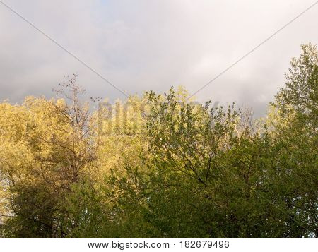 Wonderful Green And Yellow Tree Tops Against A Cloudy And Murky Stormy Raining Skyline And Clouds