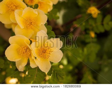 Beautiful And Stunning Soft Yellow Small Roses Poking Out In This Macro Of A Rose Plant With Leaves