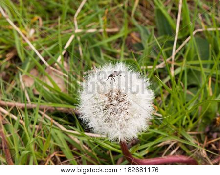 A Close Up Shot Of A Black Insect Bug Fly On The Top Of A White Dandelion In Spring Intact And Resti