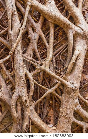 Banyan Tree On The Wall At Redi Fort, Maharashtra, India.