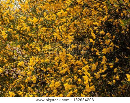 Beautiful Tree Seen From The Side With Tons And Dozens Of Gorse Yellow Oily Wax Flower Heads Shining