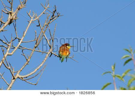 Bee Eater Bird On Tree Branch