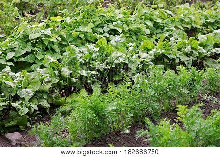 Garden vegetable garden.Vegetable beds. Different kinds of crops growing in the garden.